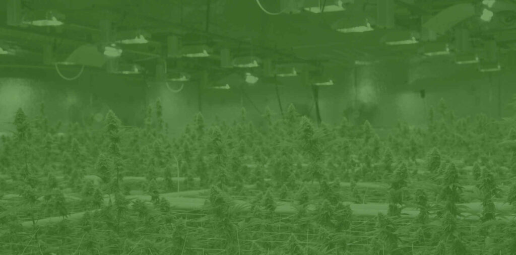 cannabis supply chain