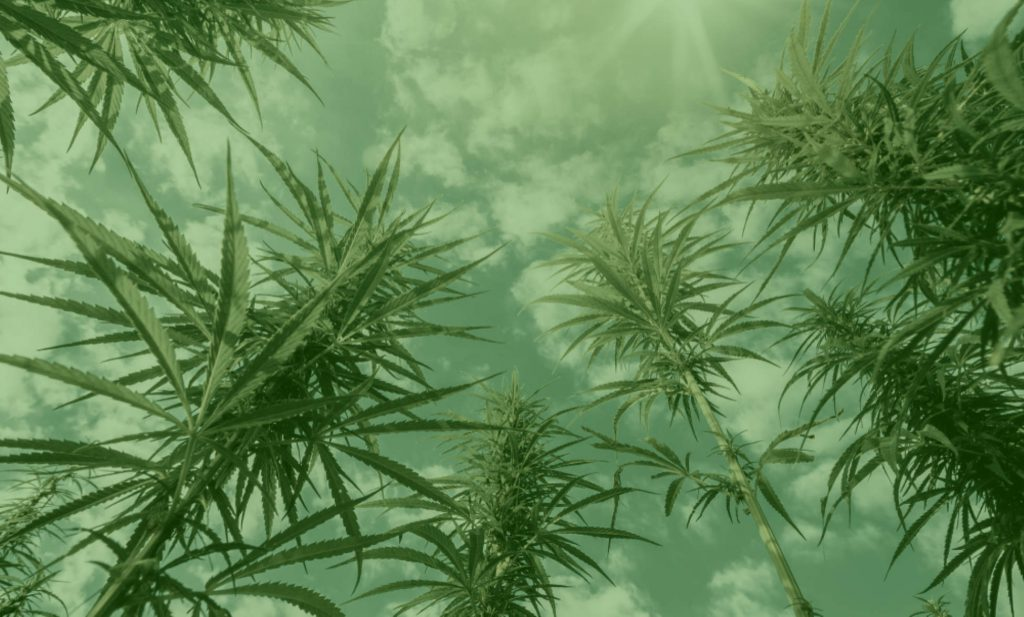 names of cannabis plants