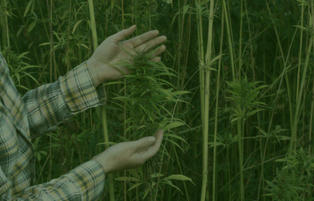 A cannabis wholesaler