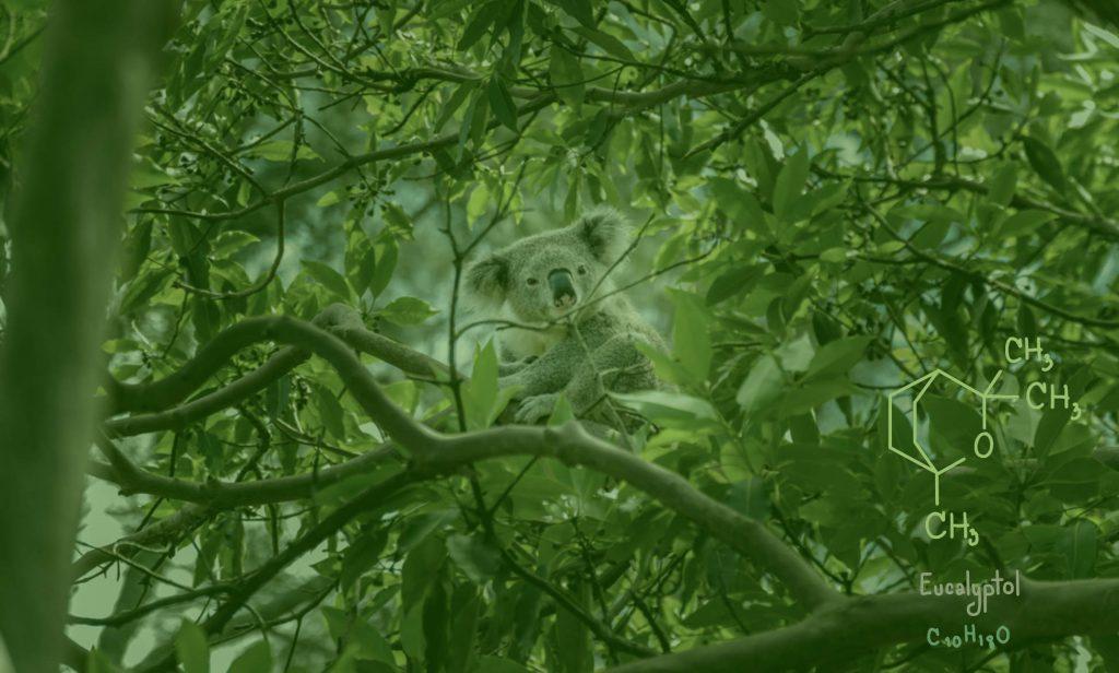 eucalyptol on eucaliptus tree